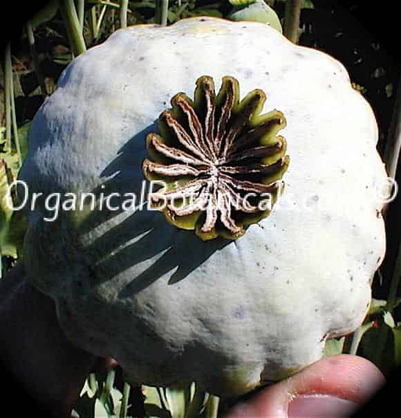 Super Colossus Somniferum Poppy Seeds Huge Giants Organical