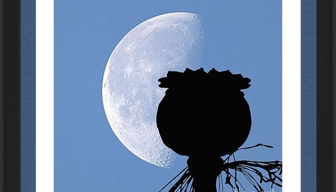 poppy pod silhouette lunar eclipse of moon papapver somniferum