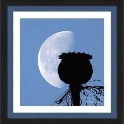 poppy pod silhouette lunar eclipse of moon papapver somniferum