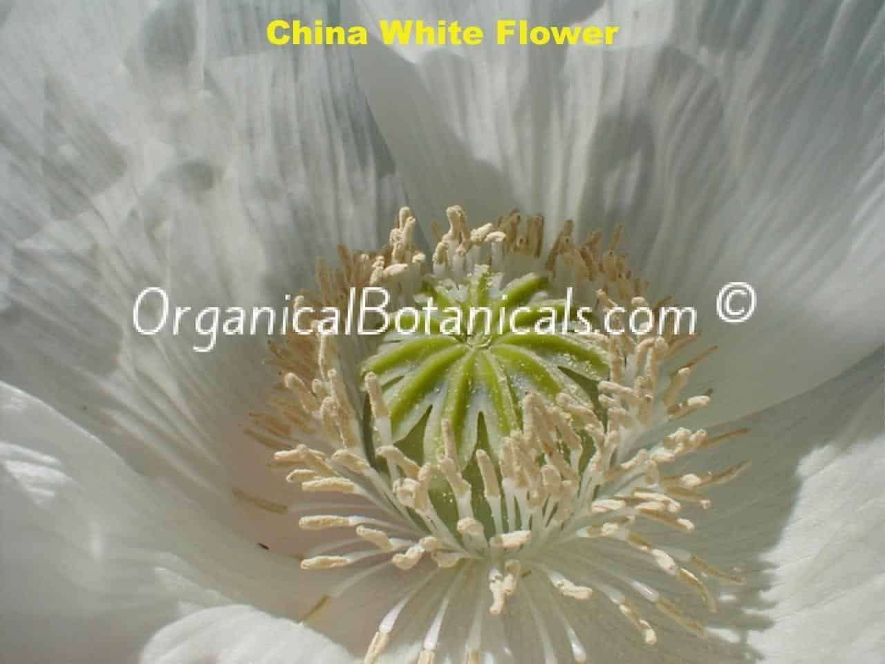 China White Papaver Somniferum Poppy Flower
