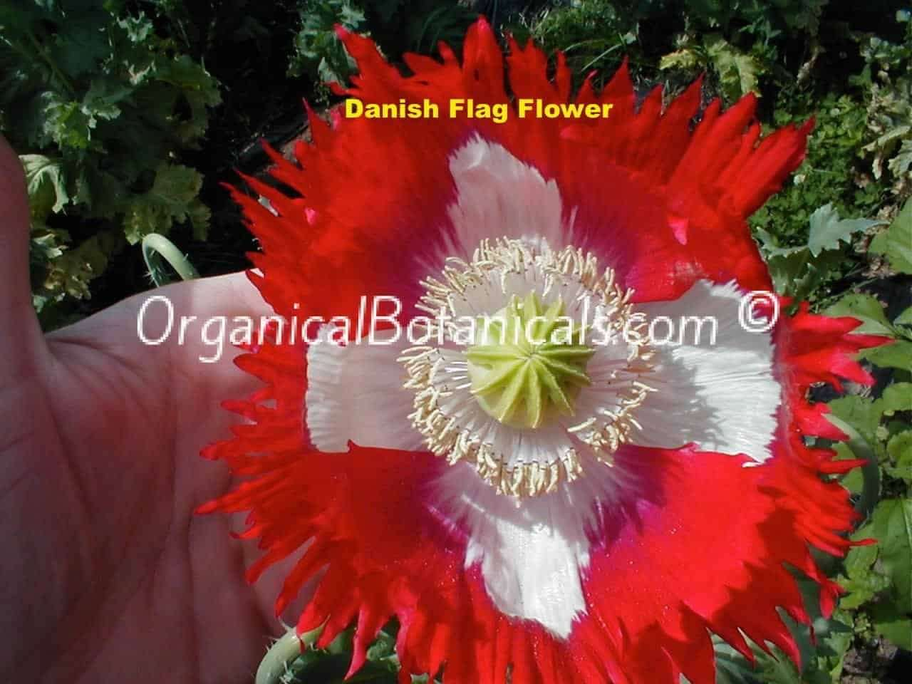 Danish Flag Papaver Somniferum Poppy Flower