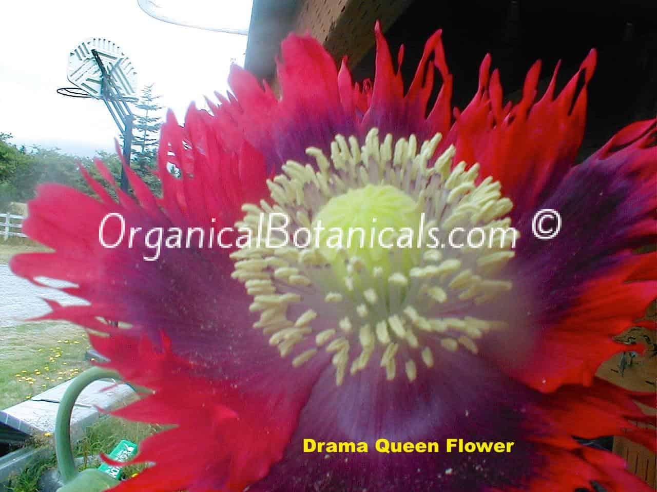 Drama Queen Papaver Somniferum Poppy Flower