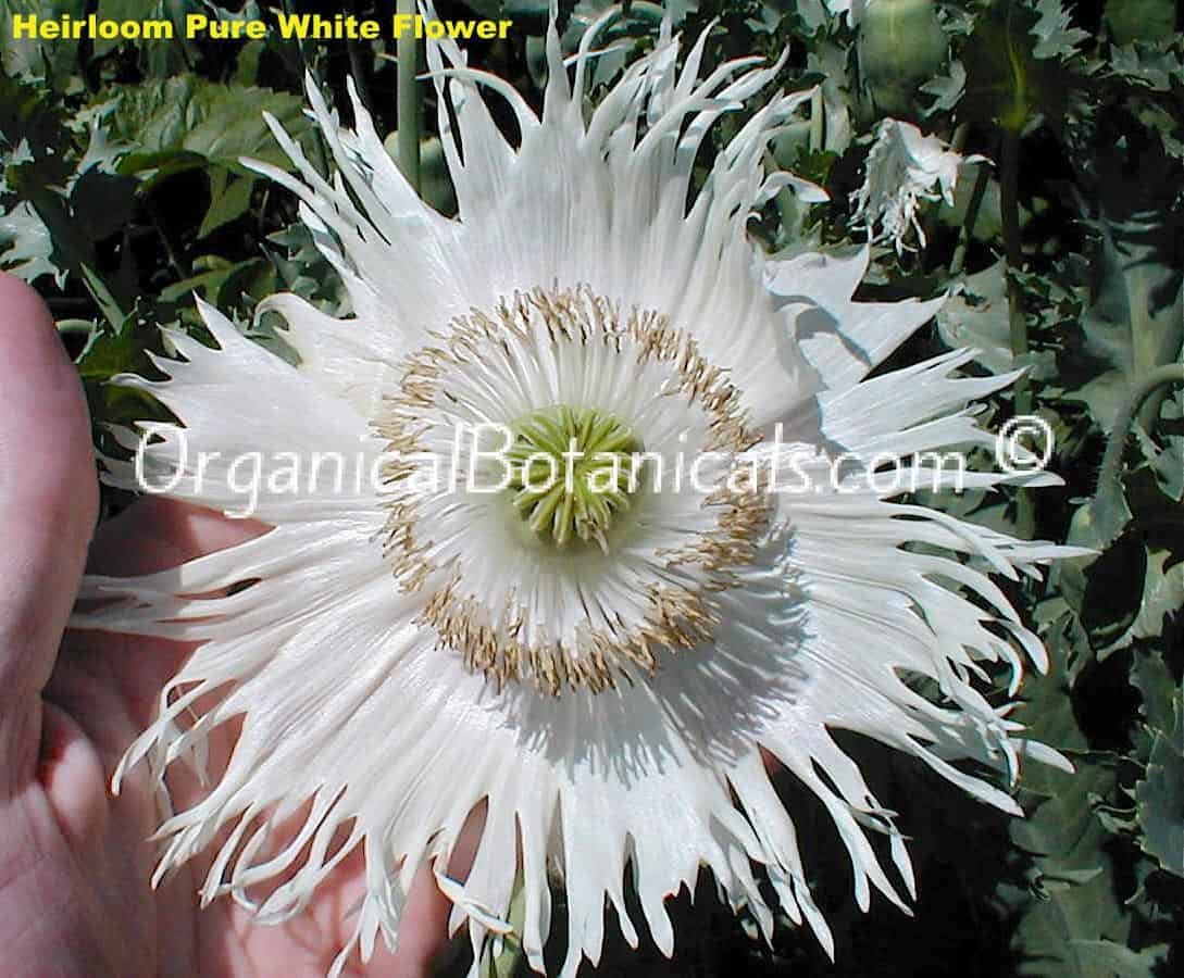 Heirloom Pure White Papaver Somniferum Poppy Flower
