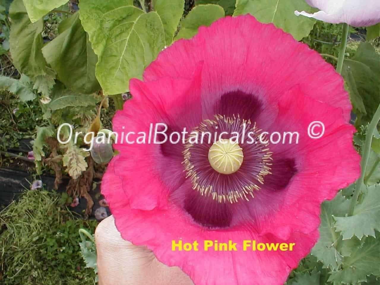 'Neon Hot Pink' Papaver Somniferum Poppy Flower