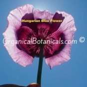 Hungarian Blue Buddha Papaver Somniferum Poppy Seeds