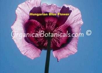 Hungarian Blue Buddha Papaver Somniferum Poppy Seeds