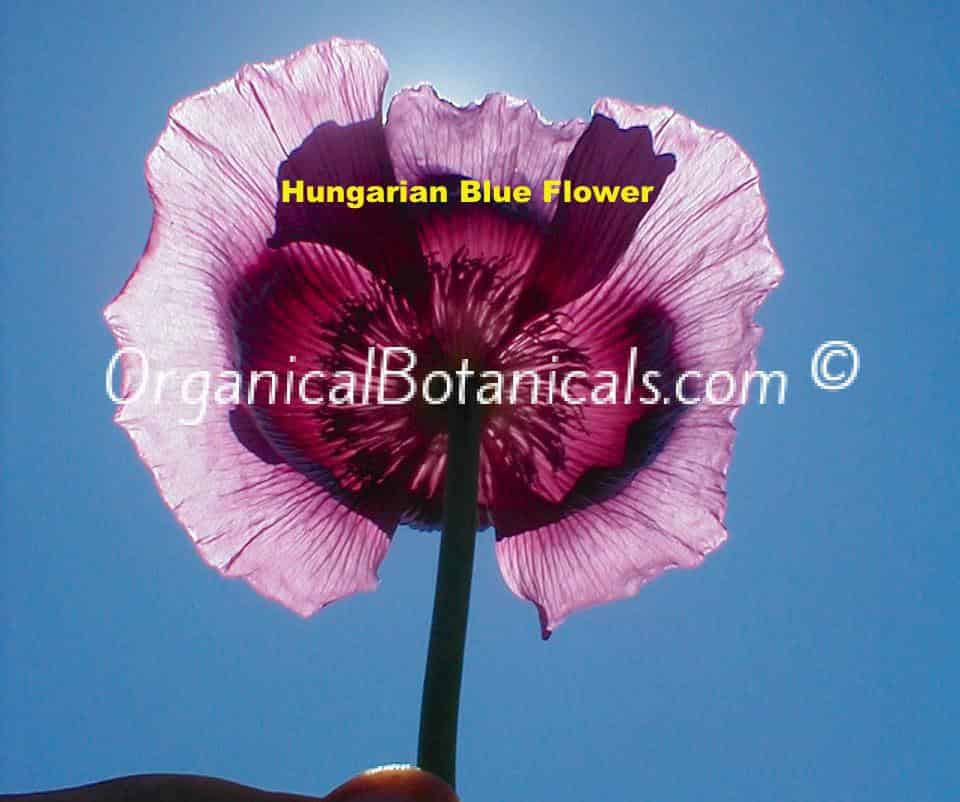Hungarian Blue Papaver Somniferum Poppy Flower seed