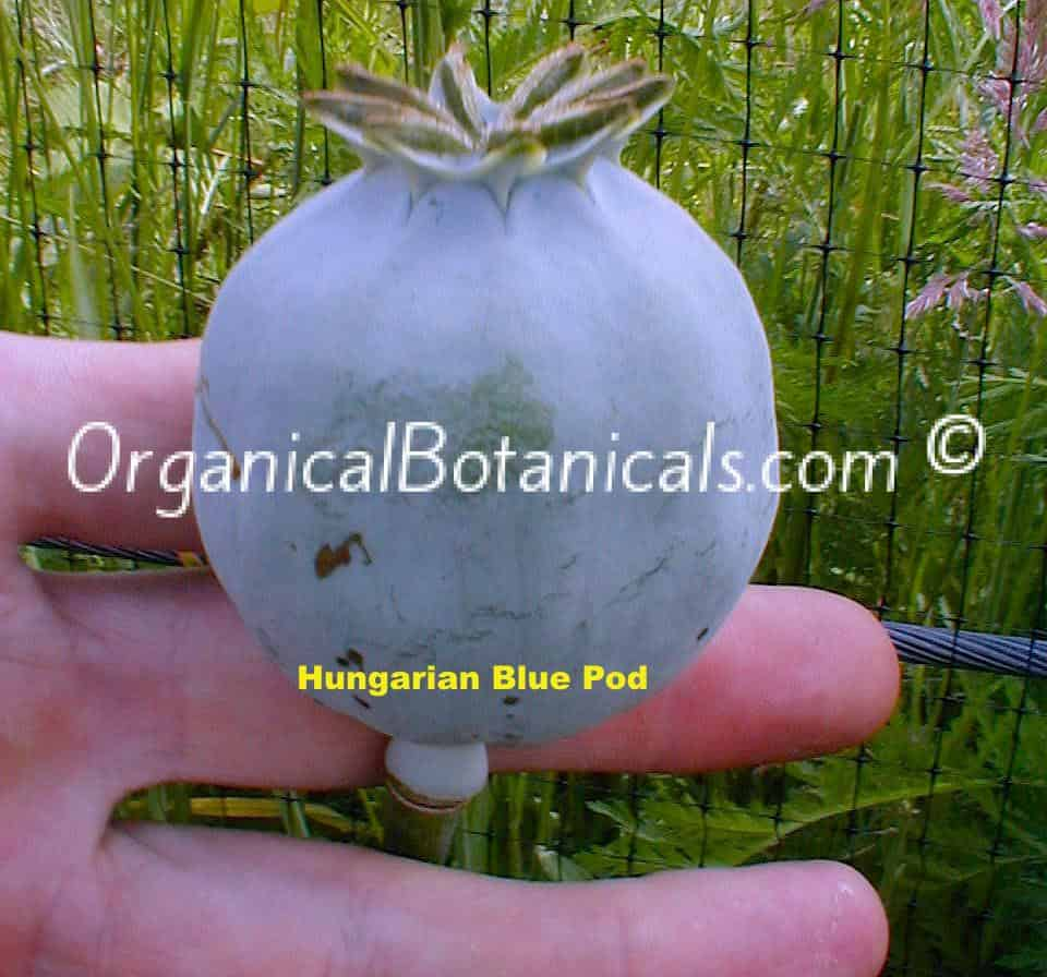 Hungarian Blue Papaver Somniferum Poppy Seed Pod