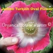 Jumbo Turkish Oval Somniferum Poppy