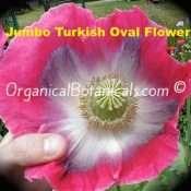 Jumbo Turkish Oval Papaver Somniferum Poppy Flower