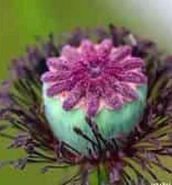 Papaver Orientale Pods have a Purple Velvet on top