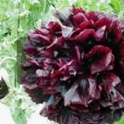 300 Black Cloud Peony Papaver Somniferum Poppy Seeds