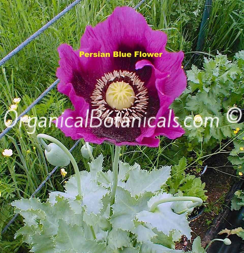 Persian Blue Papaver Somniferum Poppy Flower