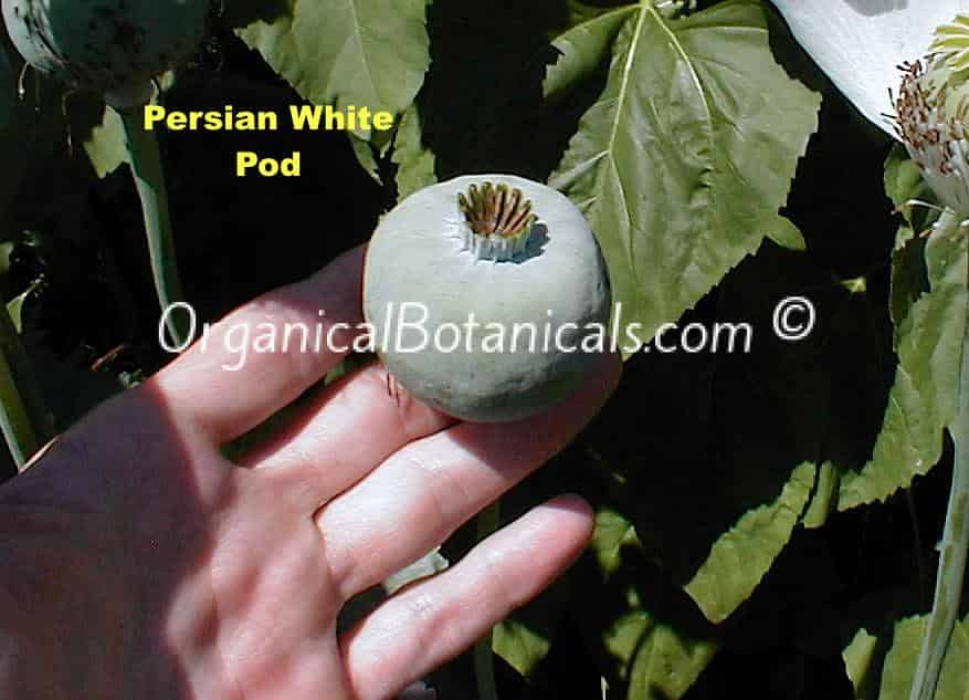 Persian White Papaver Somniferum Poppy Seed Pod