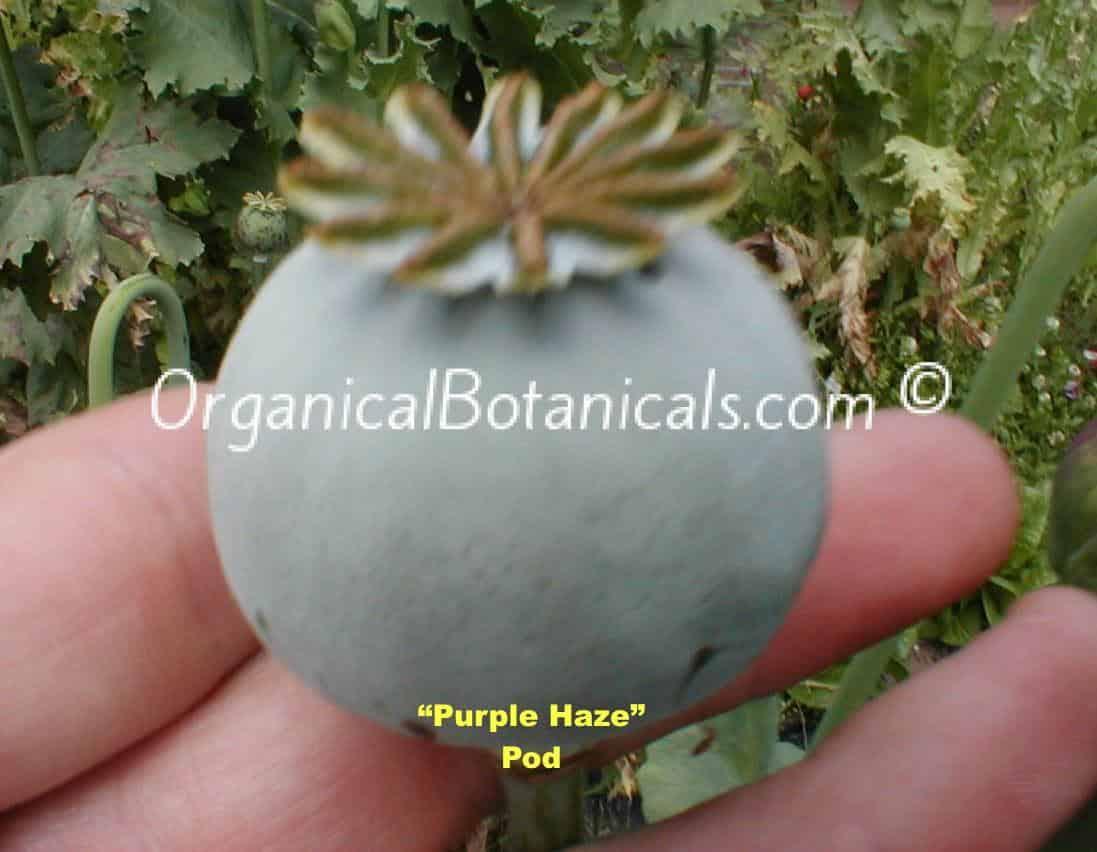 Purple Haze Papaver Somniferum Poppy Seed Pod