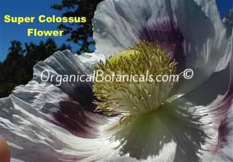 Super Colossus Giant Somniferum Poppy Flower