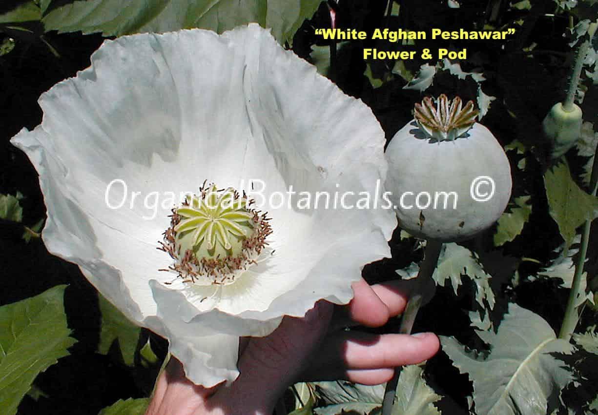 White Afghan Peshawar Somniferum Poppy Flower & Pod