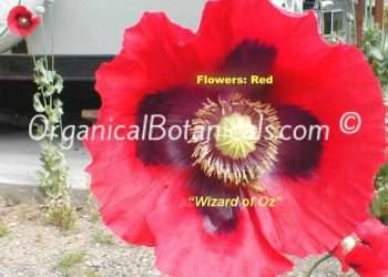 'Wizard of OZ' RED Papaver Somniferum Poppy Seeds