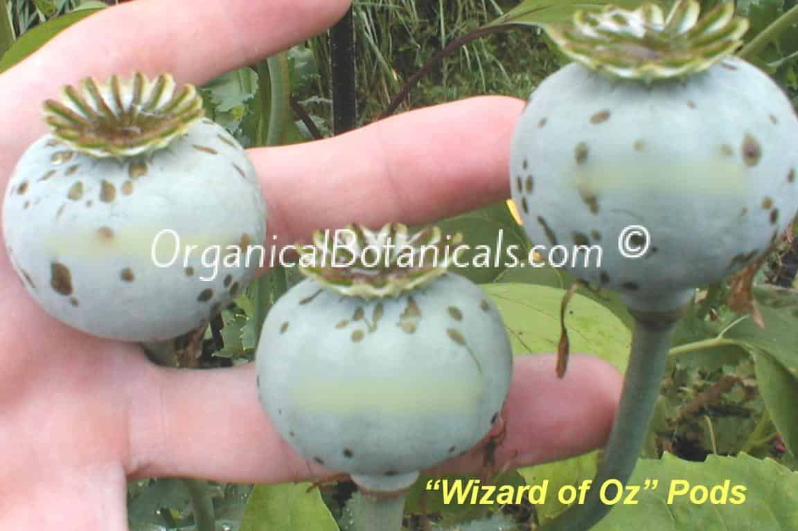 'Wizard of Oz' Red Somnferum Poppy Seed Pods