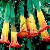 RED ANGEL TRUMPET
