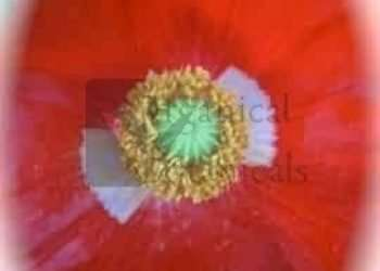 'Tulip Poppy' Papaver Glaucum Seeds - RARE
