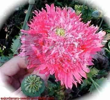 300+ Pink Flamingo Peony PAPAVER SOMNIFERUM POPPY SEEDS
