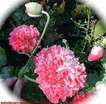 Pink Peony Papaver Somniferum Poppy