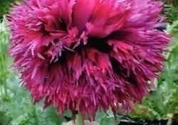"""Purple Pom Peony"" Feather FRINGED SOMNIFERUM POPPY SEEDS"