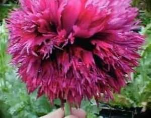 """Purple Pom Peony"" Feather FRINGED SOMNIFERUM POPPY SEEDS"