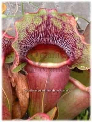 10 Sarracenia Purpurea PITCHER PLANT SEEDS RARE