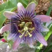 10 PASSIFLORA caerula 'Blue Passion Flower' Seeds