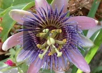 10 PASSIFLORA caerula 'Blue Passion Flower' Seeds