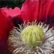 Izmir Giganteum Papaver somniferum Poppy Seeds - 300 Pack