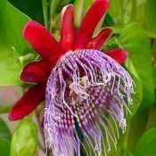 10 Passiflora ligularis 'Sweet Grenadilla' Seeds