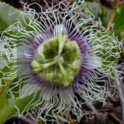 10 PASSIFLORA Edulis 'Passion Flower Vine' Maypop SEEDS