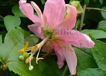 10 PASSIFLORA Mollissima 'Banana Passionfruit' SEEDS