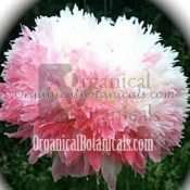 Pink Circus Peony Papaver Somniferum Double Pom Poppy Seeds