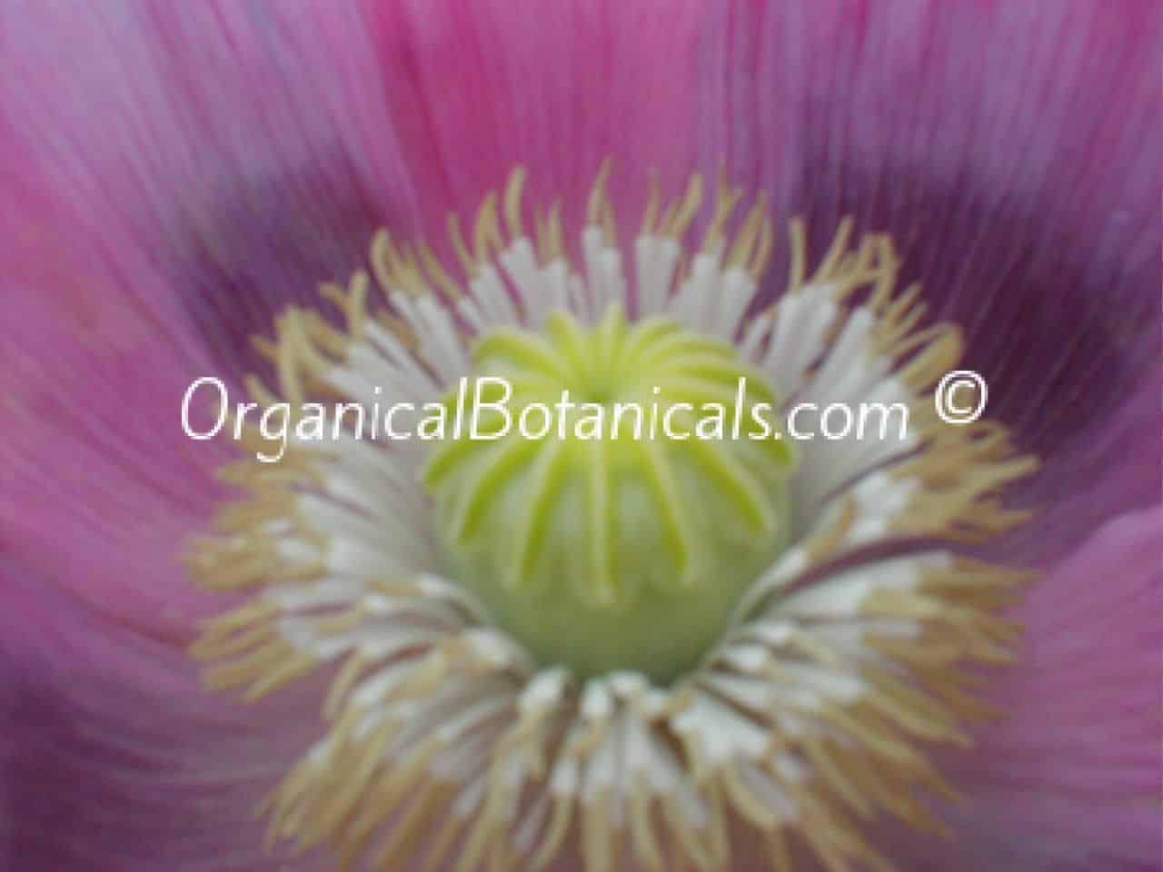 Afghan Pink Sunset Papaver Somniferum Poppies