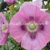 'Afghan Pink Sunset' Papaver Somniferum Poppy Seeds