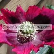 'Neon Blue' Hot Pink PAPAVER SOMNIFERUM POPPY SEEDS x500