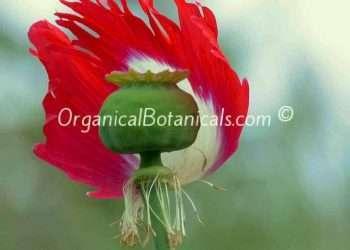 Danish Flag - RED n WHITE Somniferum Poppy Seeds