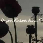 Danish Flag Papaver Somniferum Afghan Opium Poppy Flowers and Pods in front of sunset