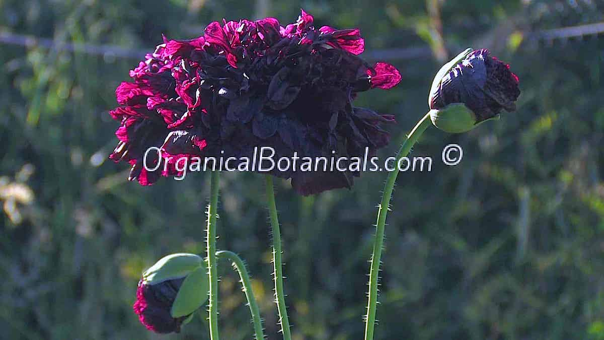 Izmir India Black Papaver Somniferum Peony Poppy Flower Seeds