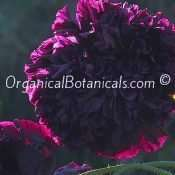 Izmir India Black Papaver Somniferum Peony Poppy