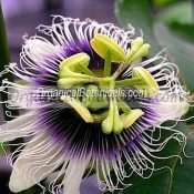 10 PASSIFLORA Edulis Flavicarpa Seeds - EDIBLE FRUIT