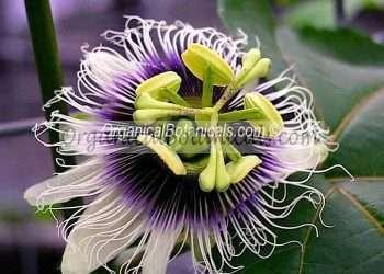 10 PASSIFLORA Edulis Flavicarpa Seeds - EDIBLE FRUIT