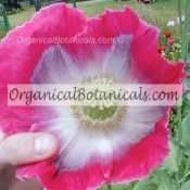 500+ 'Planets Largest' Papaver Somniferum Poppy Seeds