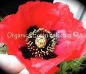 Papaver Setigerum Poppy Seeds - Organical Botanicals 2