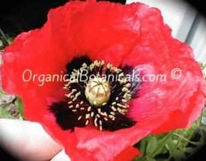 Papaver Setigerum Poppy Seeds - Organical Botanicals 2