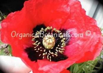 Papaver Setigerum DC Wild Poppy Seed – Somniferum Origin